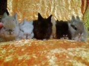 декоративные крольчата прямоушки от заводчика для души и на подарок