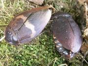 Таракан капучино (Erdaula capucina)