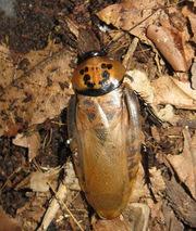 Шеститочечный таракан (Eublaberus distanti)