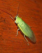 Зеленый банановый таракан (Panchlora nivea)