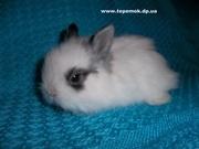 карликовые и декоративные кролики купить в  Украине