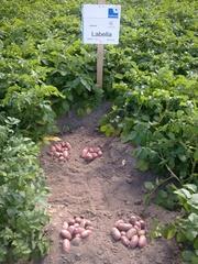 семенной картофель для Успешного бизнаса