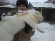 кролики великаны мясных пород