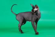 Голые коты сфинксы для аллергиков