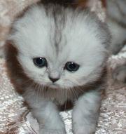 вислоухого, шотландского котёнка, скоттиш-фолд