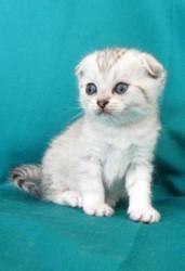 Котята шотландцы из профессионального питомника кошек