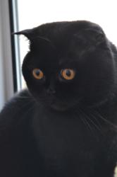 Шотландский кот приглашает на вязку