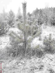 Новогодние живые елки !!!