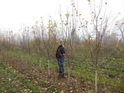 Плодовые деревья 2, 5-3, 5м с комом