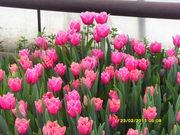 Продам свежий срез тюльпанов к 8 марту