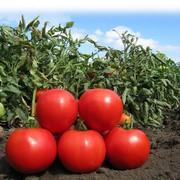 помидоры серии Сибирский сад  ХЛЕБОСОЛЬНЫЙ