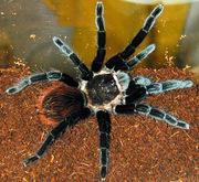 Продам пауки Брахипельма ваганс ( Brachypelma vagans )