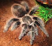 Продам пауки Брахипельма альбопилозум ( Brachypelma albopilosum )