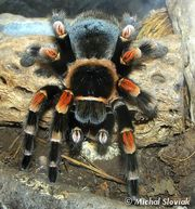 Продам пауки птицееды брахипельма смити ( Brachypelma smithi  )