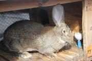Продам кроликов породы Немецкий Ризен (Великан)