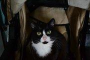 Шелковистая чёрно-белочка Варя ищет дом