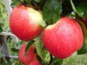 Саженцы яблонь и груш с питомника