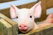 Пропонуємо корми для свиней !А Ви отримуєте 110кг живої ваги