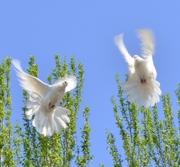 Голуби на свадьбу в Кривом Роге