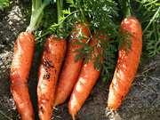 Продам морковь оптом,  от производителя.