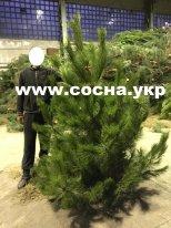 Новогодние живые елки оптом со склада