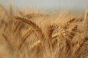 Куплю пшеницу ячмень ДОРОГО