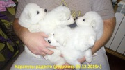 Щенки Самоедской лайки/Цуценята Самоедской лайки/Samoyed puppies