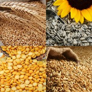 Куплю подсолнечник,  пшеницу,  ячмень,  кукурузу