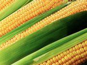 Кукуруза закупка. Куплю кукурузу.