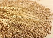 Зерноотходы зерновые,  масличные,  бобовые